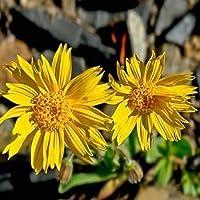200 semillas frescas - Semillas de hierbas Árnica Montana