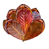 50 SunGrow Mini Catappa Leaves - Best way to create Tropical rainforest environment for Tropical fish: Leaf tannin lowers pH naturally: Boost health and breeding chances.
