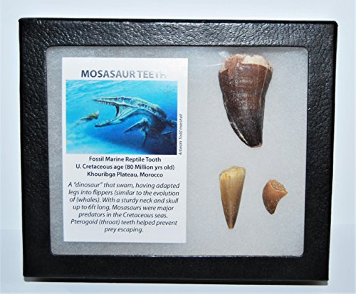 Fossil Display (MOSASAUR Tooth Fossils (3 Teeth) Dinosaur w/ Display Box & COA #13363 9o)