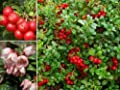 "MOUNTAIN CRANBERRY ""Vaccinium Vits-idaea, Lingonberry+"" 15+ Perennial Seeds"