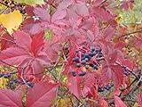 Virginia Creeper, Fast Growing Vine, 10 Seeds! Groco