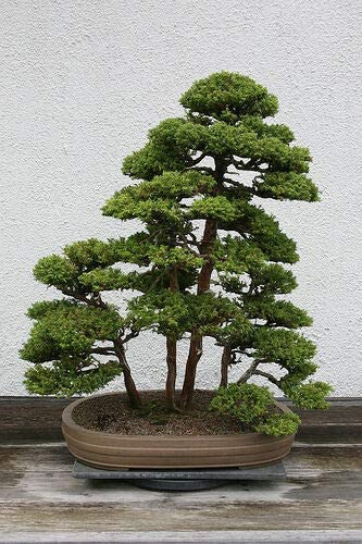 Amazon Com Seeds Japanese Red Cedar Cryptomeria Japonica Tree 600 Seeds Fast Evergreen Bonsai Tree Flower Fruit Seeds Garden Outdoor