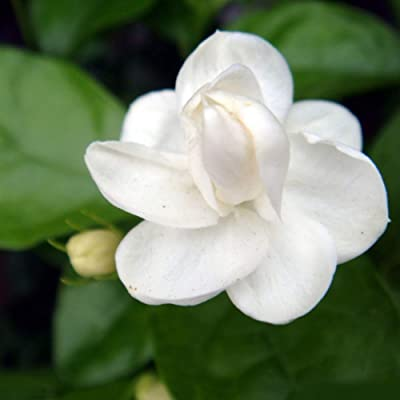 100Pcs Jasmine Flower Seeds Fragrant Home Garden Plant Seed (Jasmine Flower) : Garden & Outdoor