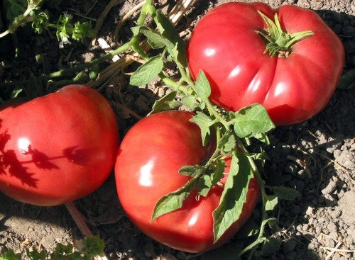 Tomato German Johnson Great Heirloom Garden Vegetable By Seed Kingdom 50 Seeds