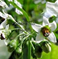 Seeds Garden Huckleberry Tropical White Flowers Certified Organic Easy to grow annual or container plant Solanum melanocerasum