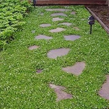 GEOPONICS semilla seedwell la Cubierta de Tierra (Vera Repen) 50 + semilla: Amazon.es: Jardín