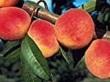 10 Cuttings of RED HAVEN PEACH TREE. Grow your Own