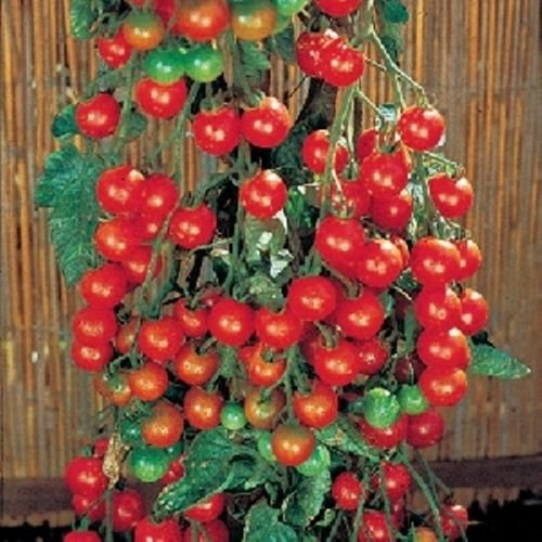 Sweet 100 Hybrid Tomato 25 Seed Long Clusters of Bite Size Fruit Delicious Snack