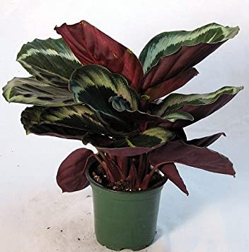 Amazoncom Rose Painted Prayer Plant Calathea Easy 6 Pot