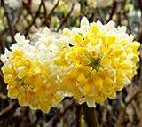 Edgeworthia ( Nanjings Gold ) Chinese Paper Bush - Live Plant - Quart Pot