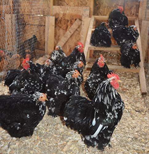 Amazoncom Mottled Cochin Bantam Hatching Eggs Bantams 1 -5198