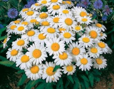 David's Garden Seeds Flower Daisy Shasta DGSDAI115GO (White) 1000 Open Pollinated Seeds