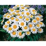 David's Garden Seeds Flower Daisy Shasta DGSDAI115GO (White) 500 Open Pollinated Seeds