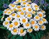 David's Garden Seeds Flower Daisy Shasta DGSDAI115GO (White) 1000 Open Pollinated Seeds