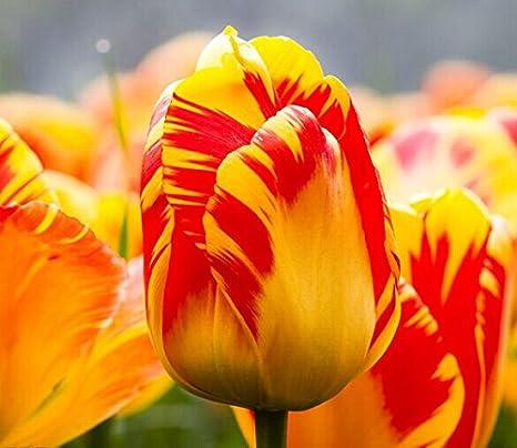 Todos los tipos de bulbos de tulipanes hermosas flores de jardín son  adecuados para las plantas en maceta (no es una semilla de tulipán) 2PC  Bulbos 10: Amazon.es: Jardín