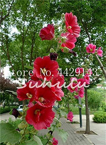 Amazoncom Hot Sale 100 Pcsbag Giant Hibiscus Seeds Hibiscus