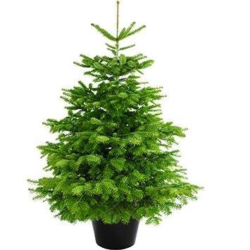 Echter weihnachtsbaum im topf online kaufen