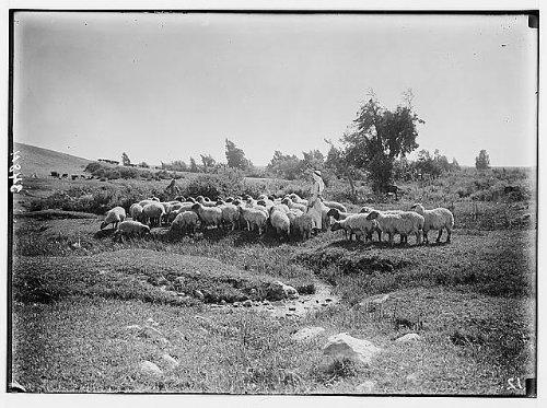 HistoricalFindings Photo: Pastoral scene on Sharon,Israel,Shepherd & Sheep,Middle East,American (Sharon Sheep)
