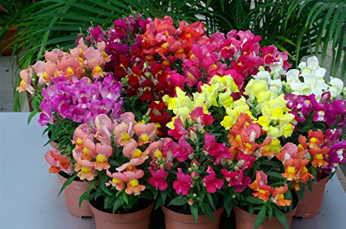 (Seeds Snapdragon Mix Low Dwarf Flower Annual Outdoor Garden Cut Organic Ukraine)