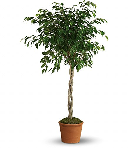 Chicago Flower Co. - Towering Ficus - Fresh and Hand Delivered