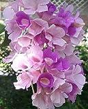 Cydista aequinoctialis Mansoa alliacea Garlic Vine pint Plant