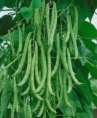 Pole Beans Seed Pack - (VBEAS)~