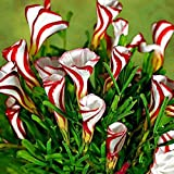2pcs True Oxalis Flower Bulbs Rare Oxalis Versicolor Candy Cane Sorrel Flower Rotary Grass Pot Home Garden Plant Bonsai 5