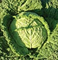 David's Garden Seeds Cabbage Famosa DGS7399 (Green) 25 Organic Hybrid Seeds