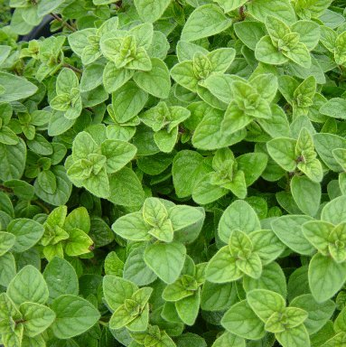 HERB SEEDS: OREGANO - 100 Seeds Pasta Sauces, Pizza, Soups - High Germination & Quality