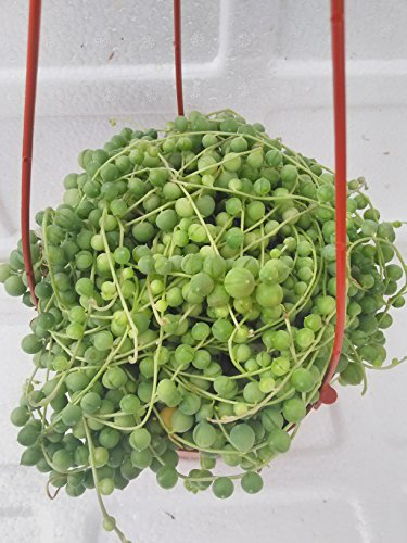 Jmbamboo - Large String of Pearls Succulent- 6'' Hanging Basket - Senecio - Easy to Grow by JM BAMBOO (Image #1)