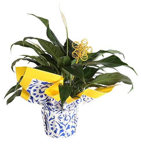 Costa Farms Peace Lily Spathiphyllum, Live Indoor Plant Decorated in Gift-Wrap, 15-Inch