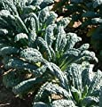 HEIRLOOM NON GMO Toscano (Dinasour) Giant Kale 250 seeds