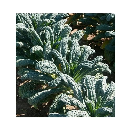 Discount HEIRLOOM NON GMO Toscano (Dinasour) Giant Kale 250 seeds
