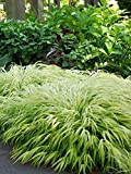 Perennial Farm Marketplace Hakonechloa macra 'All Gold' ((Japanese Forest) Ornamental Grass, 1 Quart, Long Golden Leaves