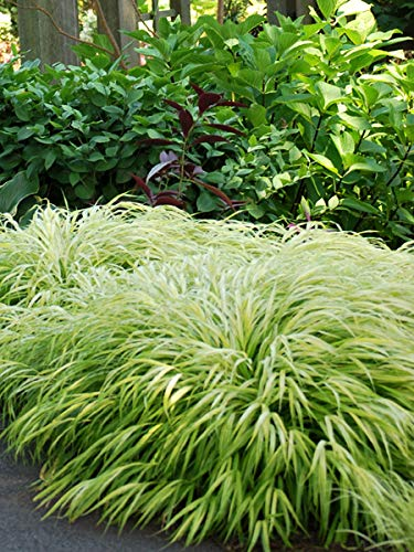 Perennial Farm Marketplace Hakonechloa macra 'All Gold' ((Japanese Forest) Ornamental Grass, 1 Quart, Long Golden Leaves
