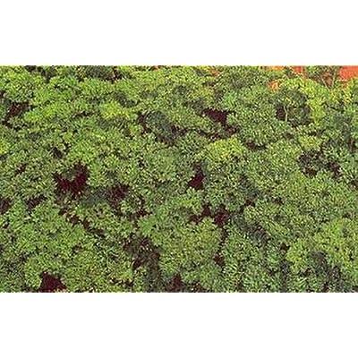 Herb - Parsley Moss Curled Seeds : Garden & Outdoor