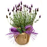 A POT OF SCENTED FRENCH LAVENDER -Superb Plant & Flower Gift For Mothers Day, Birthday,New Home Or Just A Simple Thankyou
