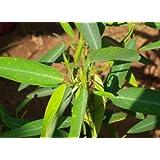 Dancing Tree Dancing Grass Telegraph Plant Codariocalyx 40 Seeds