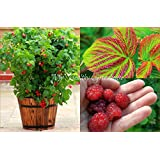 """SEEDS - Self-pollinating """"Caroline Red"""" Dwarf Raspberry Upright Cane Variety. SHIPS FROM CANADA!"""