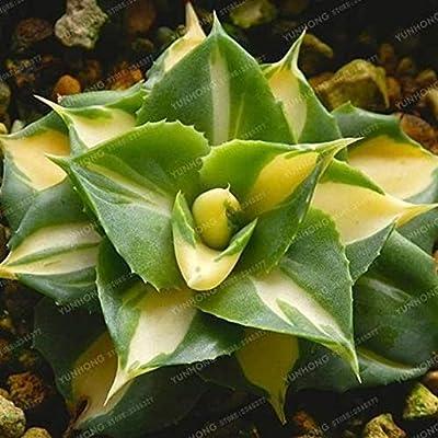 AchmadAnam - Seeds - 100pcs Pseudotruncatella Succulent Lithops Rare Perennial Herb Plant Cactus Cacti (Code 551). E13 : Garden & Outdoor