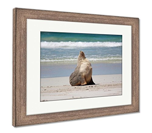 Ashley Framed Prints Australian Sea Lion At The Beach At Seal Bay Conservation Park Kangaroo Island, Wall Art Home Decoration, Color, 34x40 (frame size), Rustic Barn Wood Frame, AG5662237