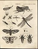 Entomology Sphinx Butterfly or Moth Dragonfly c.1810 antique engraved print