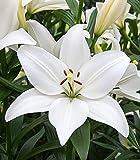 25 Bulb of Lilium Longiflorum Asiatic Bright Diamond - Lily