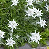 Outsidepride Edelweiss Ground Cover Plant Seed - 5000 Seeds