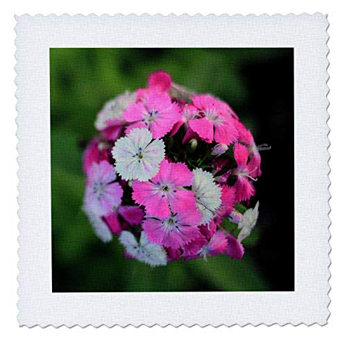 3dRose Stamp City - flowers - Close up photo of dianthus barbatus - Sweet William in shades of pink. - 22x22 inch quilt square (qs_308721_9) ()