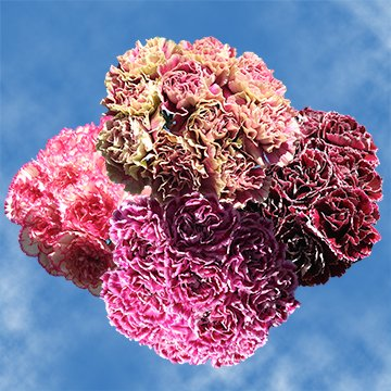 GlobalRose 300 Fresh Cut Bi-Color Carnations - Fresh Flowers Wholesale Express Delivery by GlobalRose (Image #4)