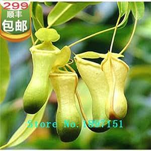 Big sale Dionaea seeds Muscipula Giant Clip Venus Fly trap Seeds 300PCS flower seeds