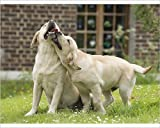 Photographic Print of Dog Labradors