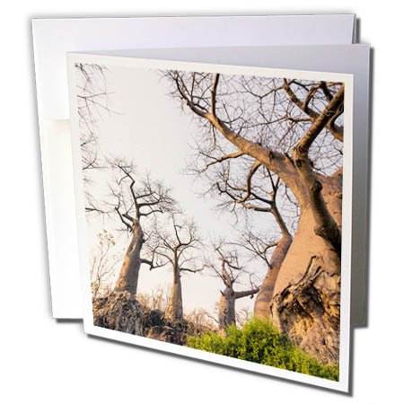 Gnarled Tree - 3dRose Danita Delimont - Trees - Botswana. Savuti. Baobab trees with gnarled branches. - 12 Greeting Cards with envelopes (gc_256856_2)