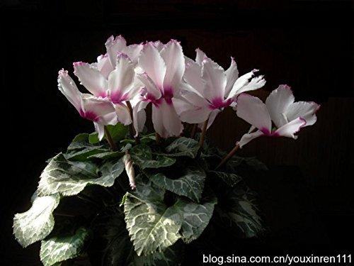 100 PCS La venta caliente 16 colores puede ser elige ciclamen de flores Semillas de plantas perennes de floraci/ón de ciclamen Semillas